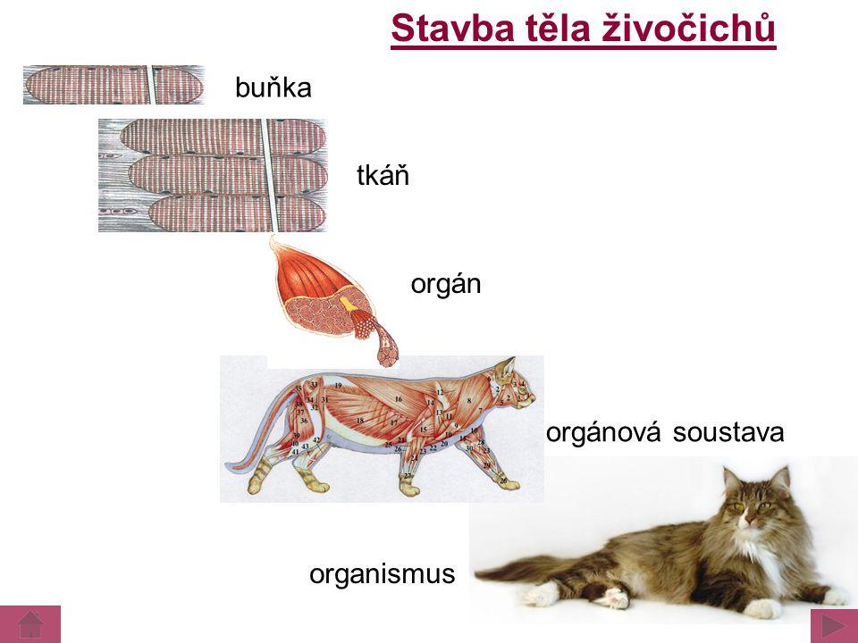 Stavba těla živočichů buňka tkáň orgán orgánová soustava organismus