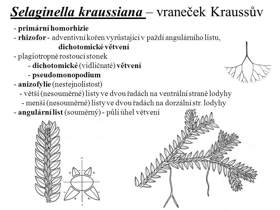 Selaginella kraussiana – vraneček Kraussův
