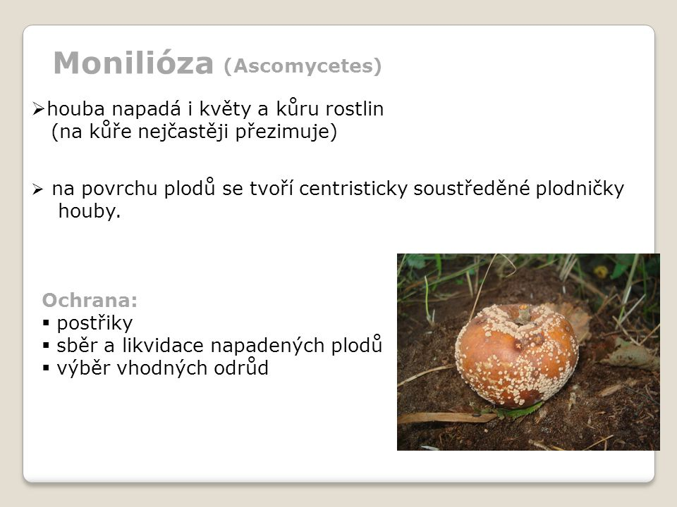 Monilióza (Ascomycetes) houba napadá i květy a kůru rostlin