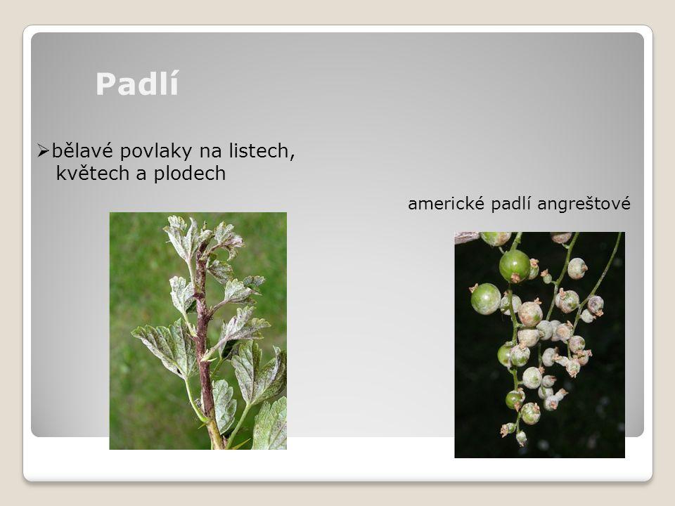 Padlí bělavé povlaky na listech, květech a plodech