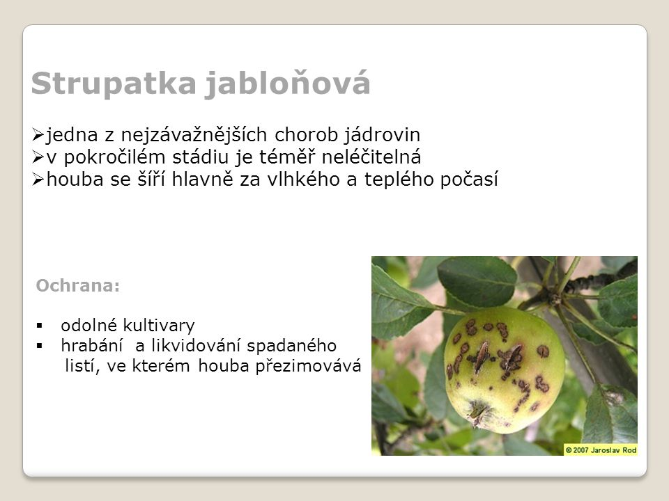 Strupatka jabloňová jedna z nejzávažnějších chorob jádrovin