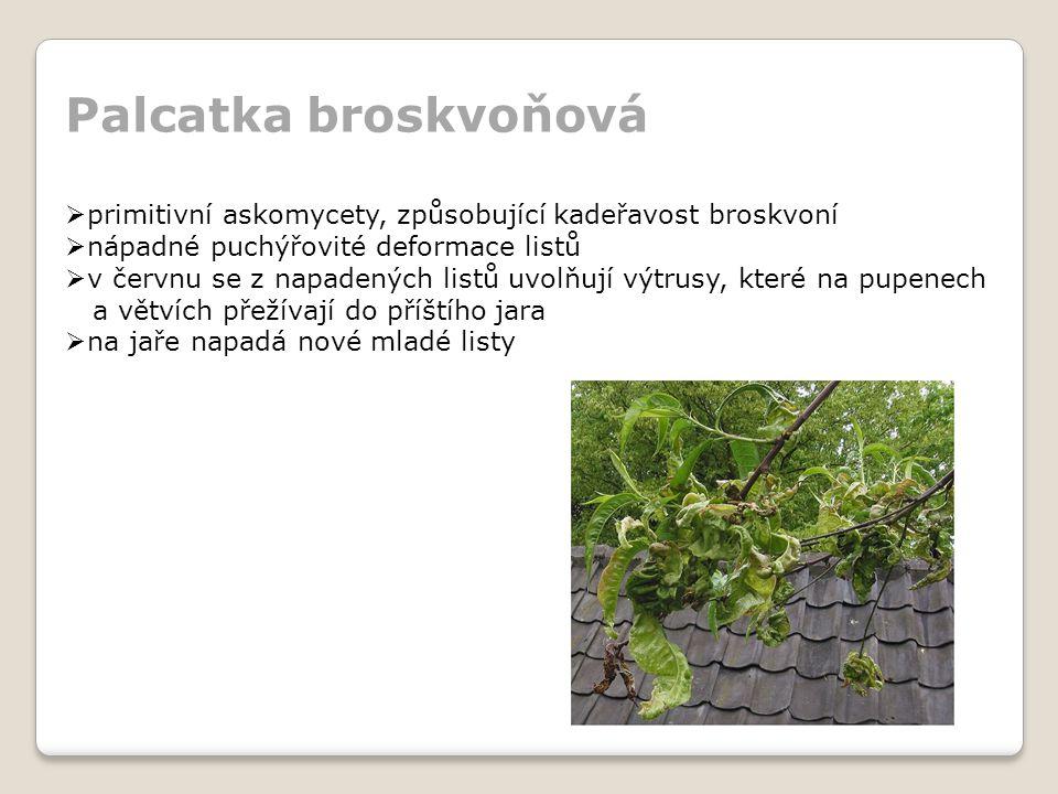 Palcatka broskvoňová primitivní askomycety, způsobující kadeřavost broskvoní. nápadné puchýřovité deformace listů.