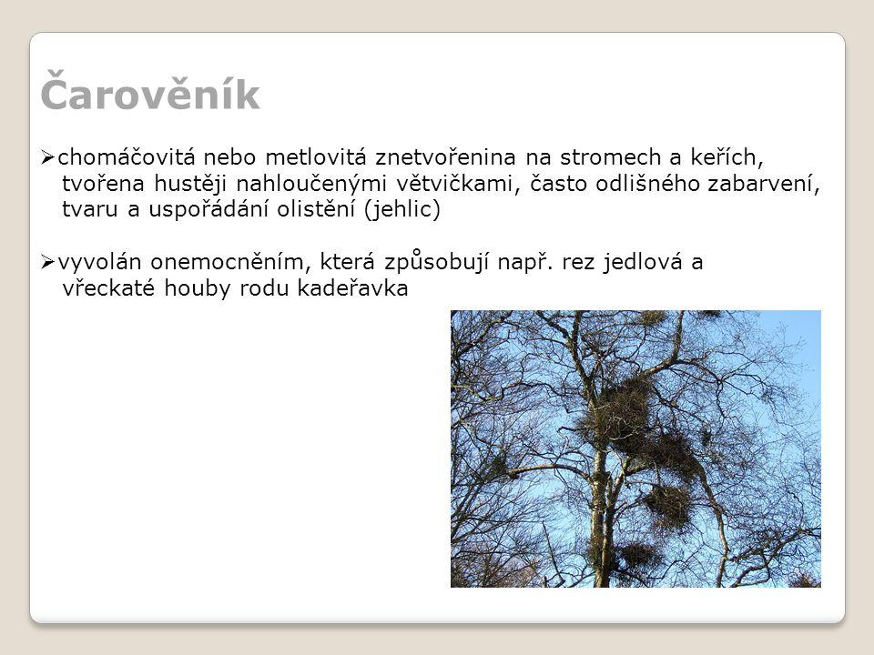 Čarověník chomáčovitá nebo metlovitá znetvořenina na stromech a keřích, tvořena hustěji nahloučenými větvičkami, často odlišného zabarvení,