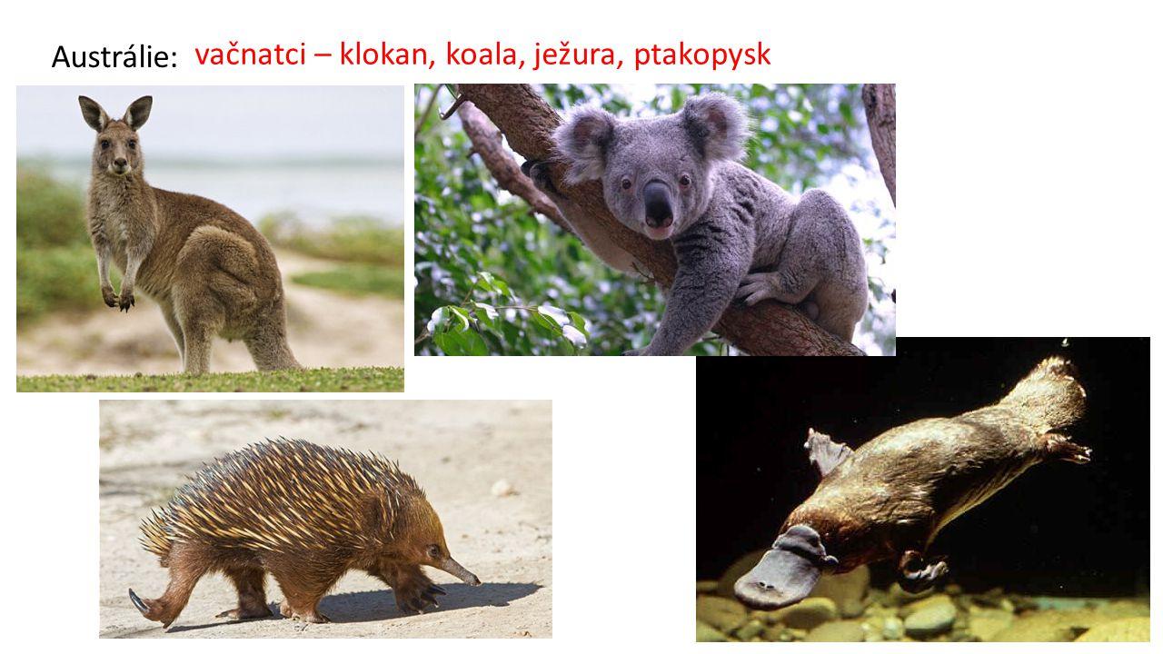 vačnatci – klokan, koala, ježura, ptakopysk