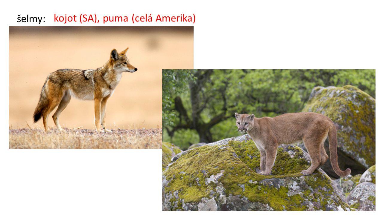 kojot (SA), puma (celá Amerika)