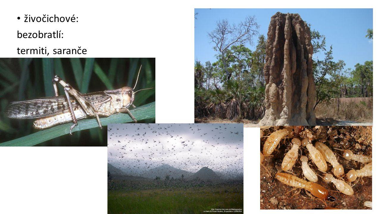 živočichové: bezobratlí: termiti, saranče