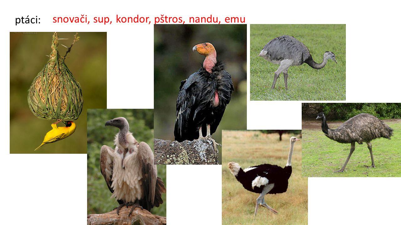 ptáci: snovači, sup, kondor, pštros, nandu, emu