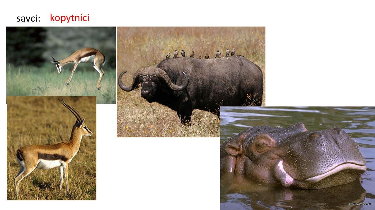 kopytníci savci: antilopa skákavá, gazela, buvol kaferský, hroch obojživelný