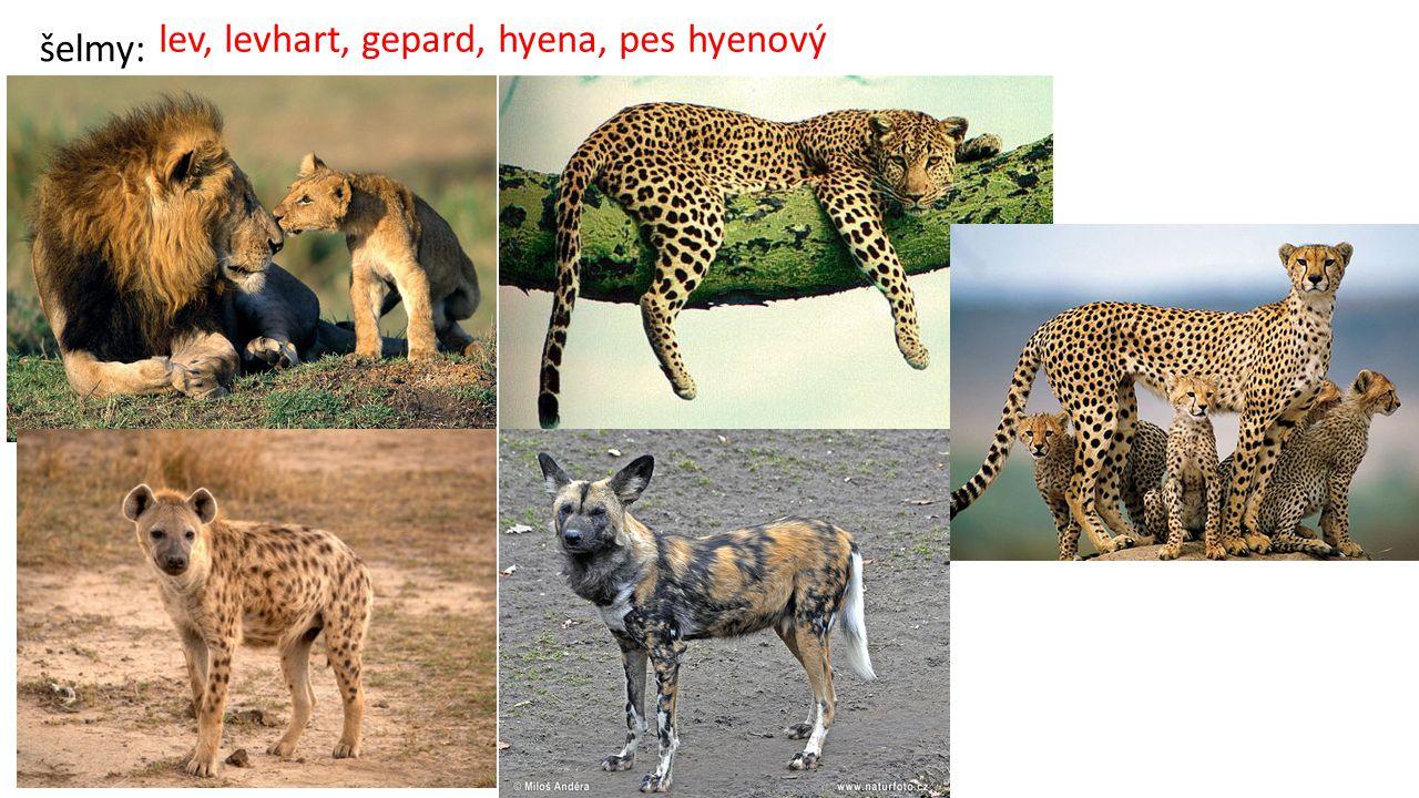 lev, levhart, gepard, hyena, pes hyenový