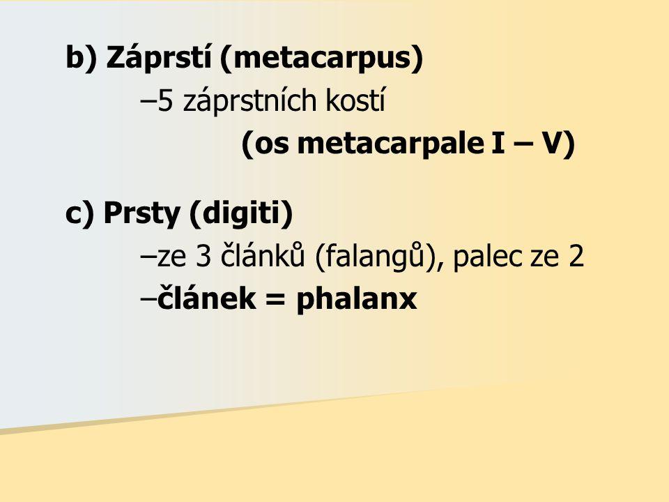b) Záprstí (metacarpus)