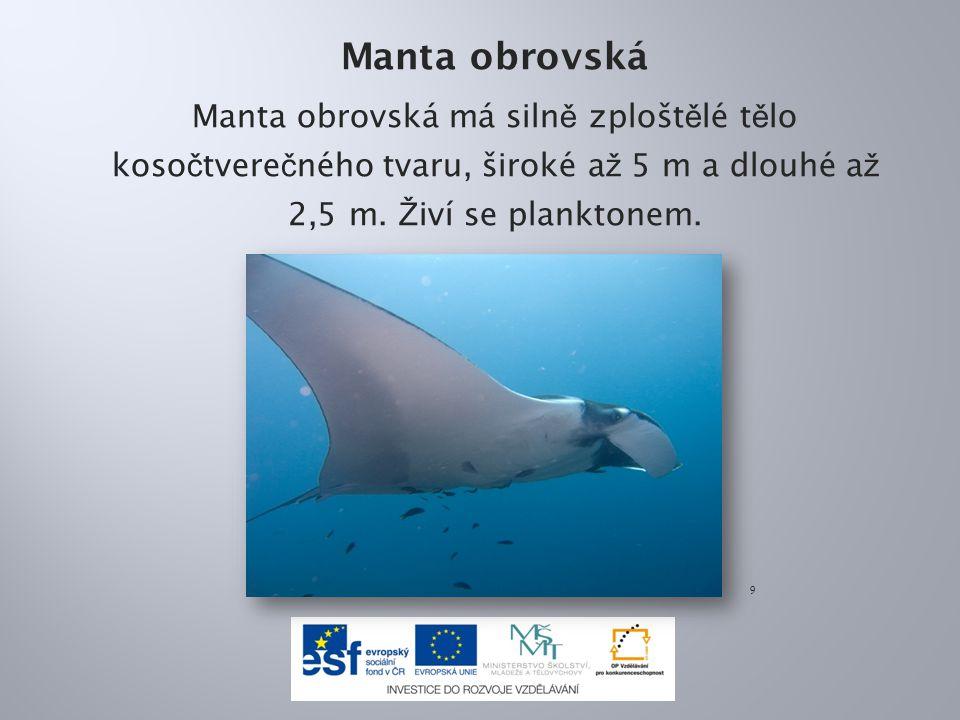 Manta obrovská Manta obrovská má silně zploštělé tělo kosočtverečného tvaru, široké až 5 m a dlouhé až 2,5 m. Živí se planktonem.