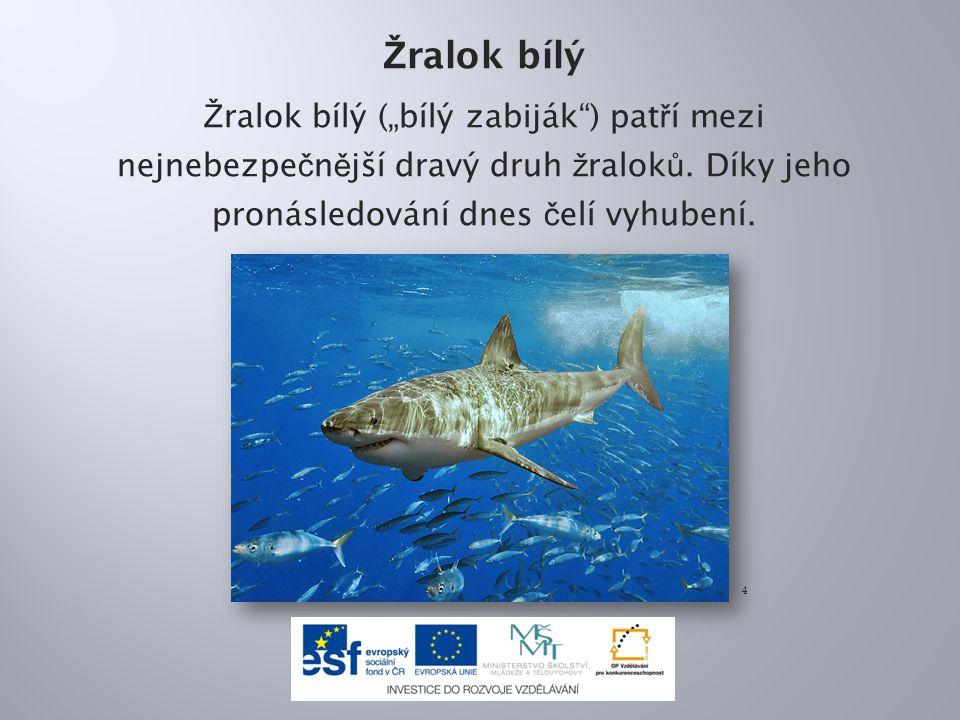 """Žralok bílý Žralok bílý (""""bílý zabiják ) patří mezi nejnebezpečnější dravý druh žraloků. Díky jeho pronásledování dnes čelí vyhubení."""