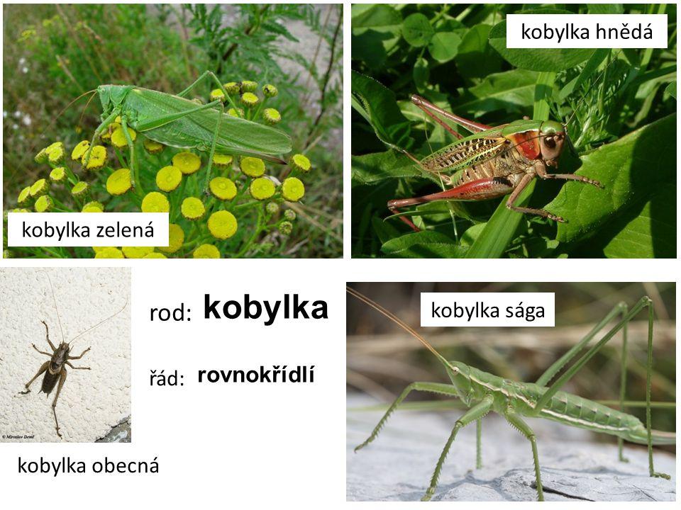 kobylka rod: kobylka hnědá kobylka zelená kobylka sága rovnokřídlí