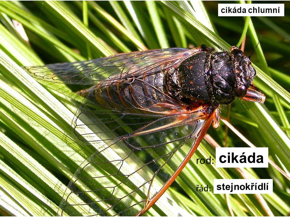 cikáda chlumní cikáda rod: řád: stejnokřídlí