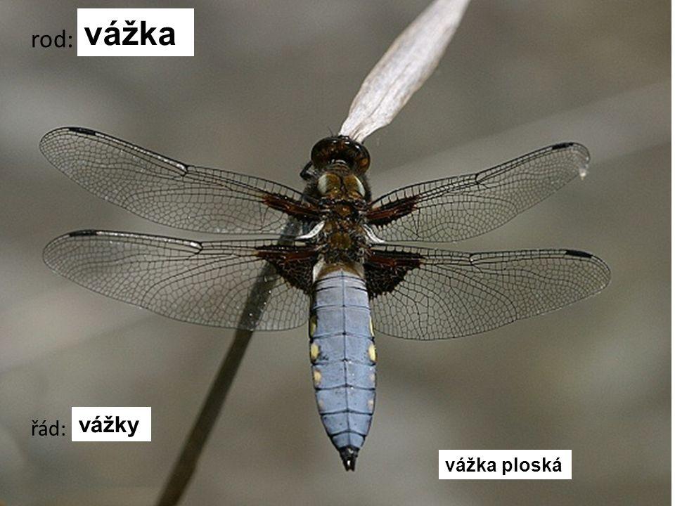 vážka rod: vážky řád: vážka ploská