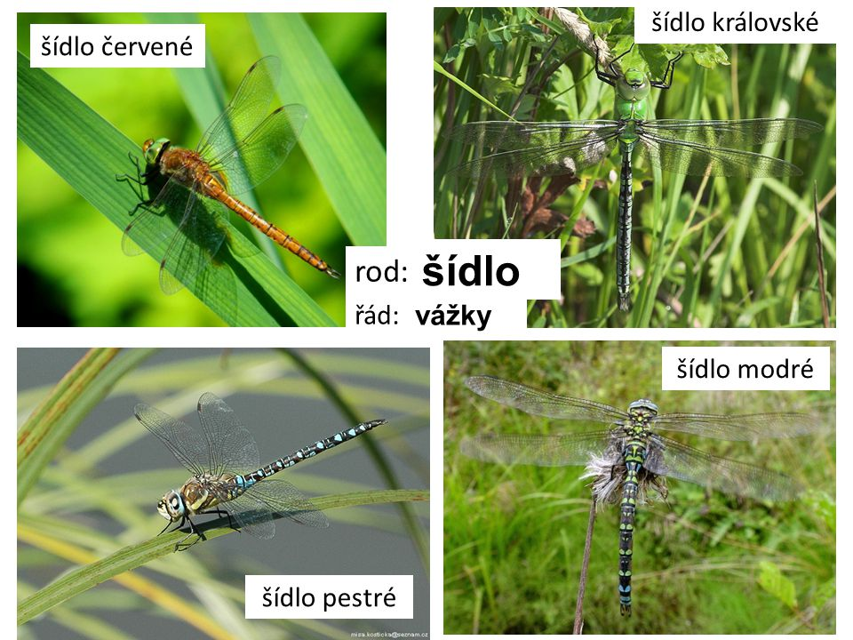 šídlo rod: šídlo královské šídlo červené řád: vážky šídlo modré