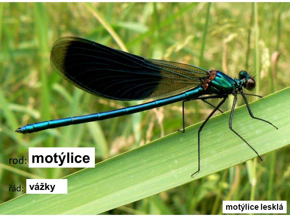 motýlice rod: řád: vážky motýlice lesklá