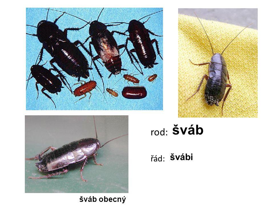 šváb rod: řád: švábi šváb obecný