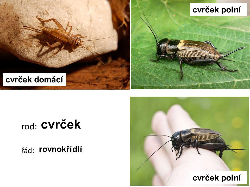 cvrček polní cvrček domácí cvrček rod: řád: rovnokřídlí cvrček polní