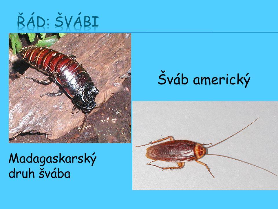 Řád: Švábi Šváb americký Madagaskarský druh švába
