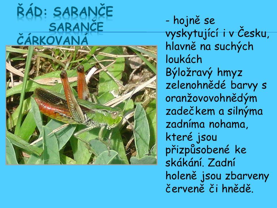 Řád: Saranče Saranče čárkovaná