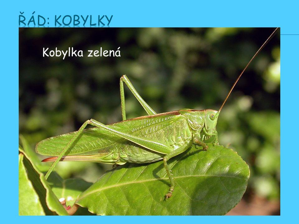 Řád: Kobylky Kobylka zelená