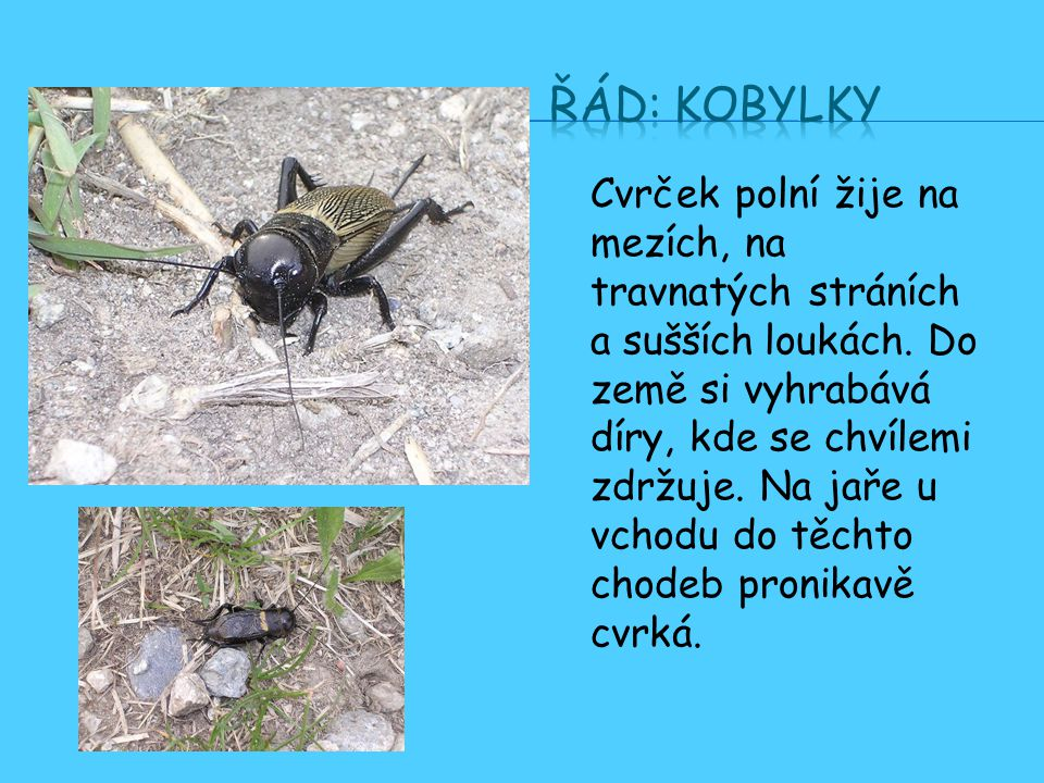 Řád: Kobylky