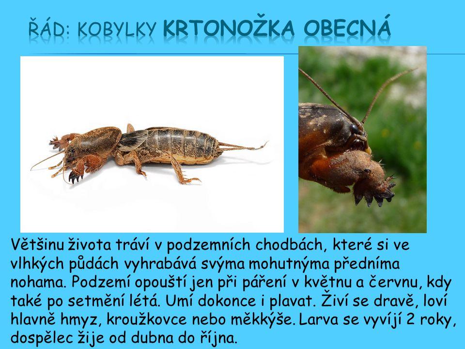 Řád: Kobylky Krtonožka obecná