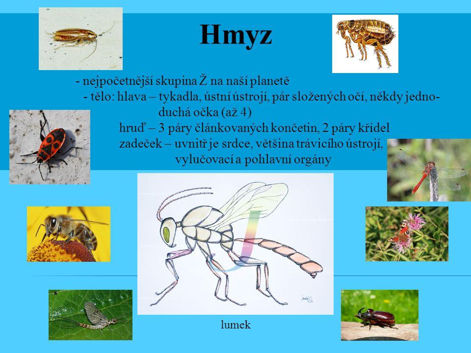 Hmyz - nejpočetnější skupina Ž na naší planetě. - tělo: hlava – tykadla, ústní ústrojí, pár složených očí, někdy jedno-