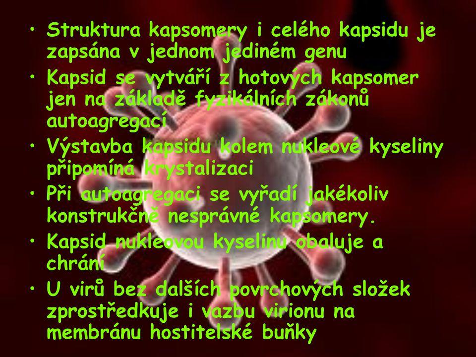 Struktura kapsomery i celého kapsidu je zapsána v jednom jediném genu