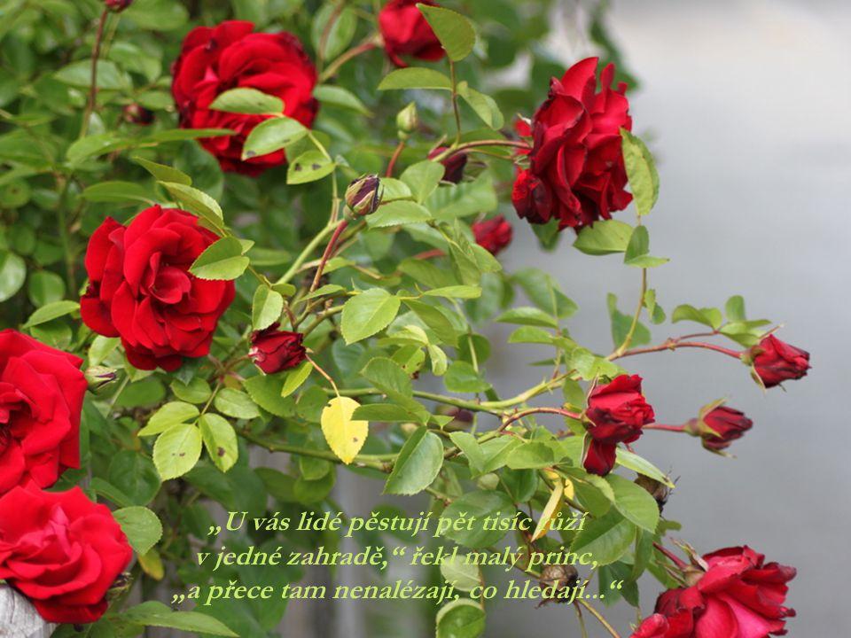 """""""U vás lidé pěstují pět tisíc růží v jedné zahradě, řekl malý princ,"""