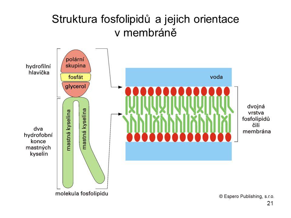 Struktura fosfolipidů a jejich orientace v membráně