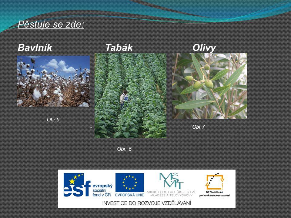 Pěstuje se zde: Bavlník Tabák Olivy Obr.5 Obr.7 Obr. 6