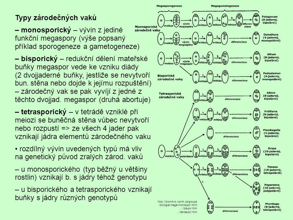 Typy zárodečných vaků – monosporický – vývin z jediné funkční megaspory (výše popsaný příklad sporogeneze a gametogeneze)