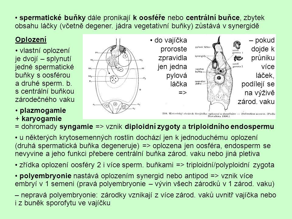 • spermatické buňky dále pronikají k oosféře nebo centrální buňce, zbytek obsahu láčky (včetně degener. jádra vegetativní buňky) zůstává v synergidě