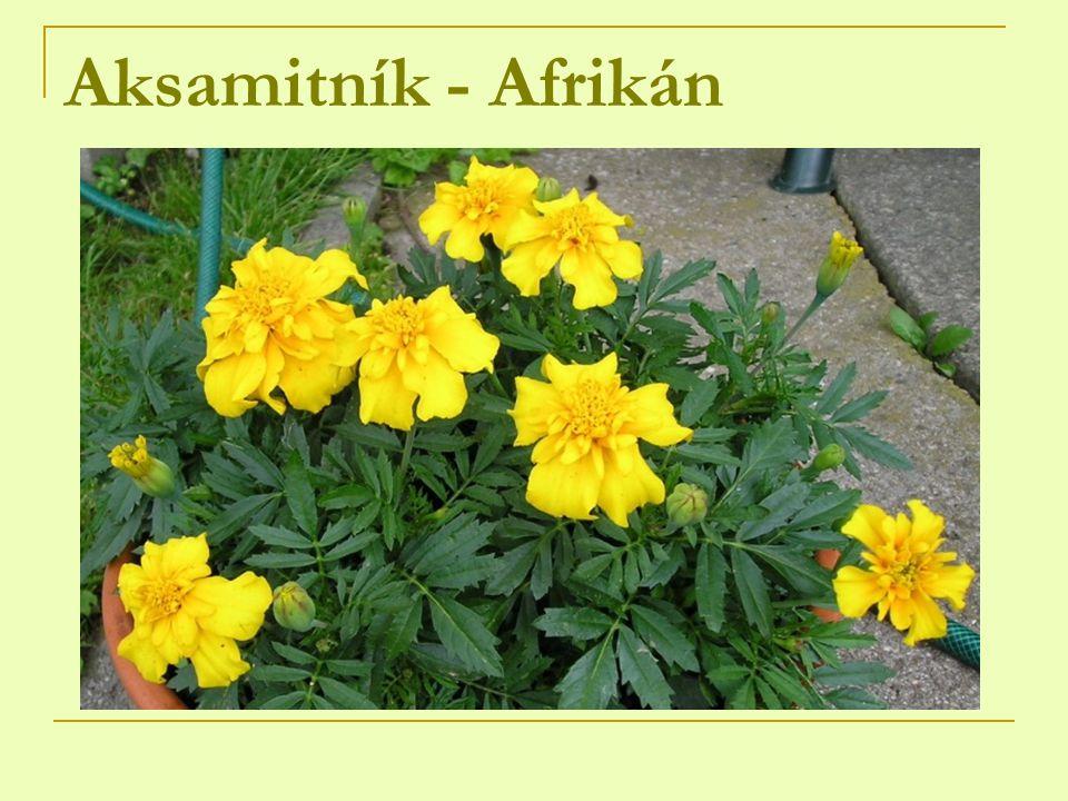 Aksamitník - Afrikán