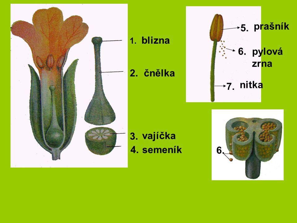 5. prašník blizna 6. pylová zrna 2. čnělka nitka 7. 3. vajíčka 4.