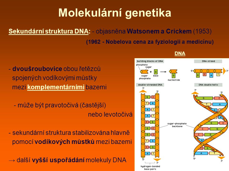 Molekulární genetika Sekundární struktura DNA: - objasněna Watsonem a Crickem (1953) (1962 - Nobelova cena za fyziologii a medicínu)