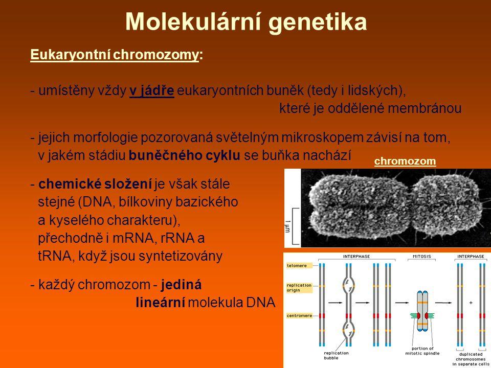 Molekulární genetika Eukaryontní chromozomy: