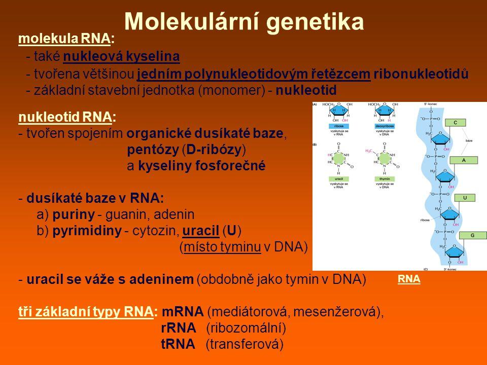 Molekulární genetika molekula RNA: - také nukleová kyselina