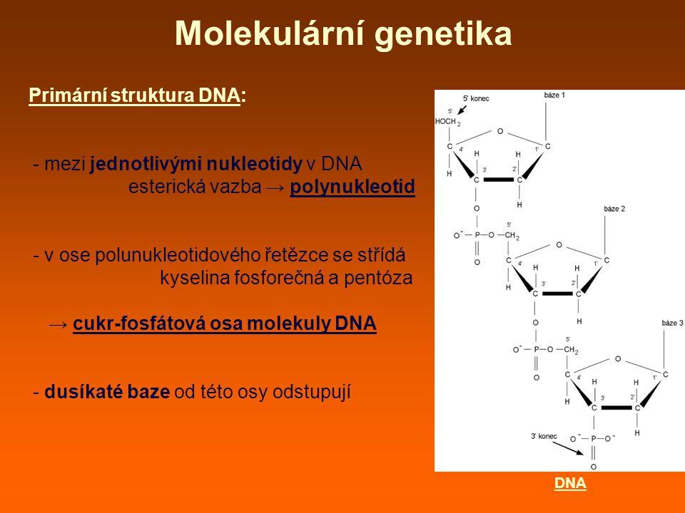 Molekulární genetika Primární struktura DNA: