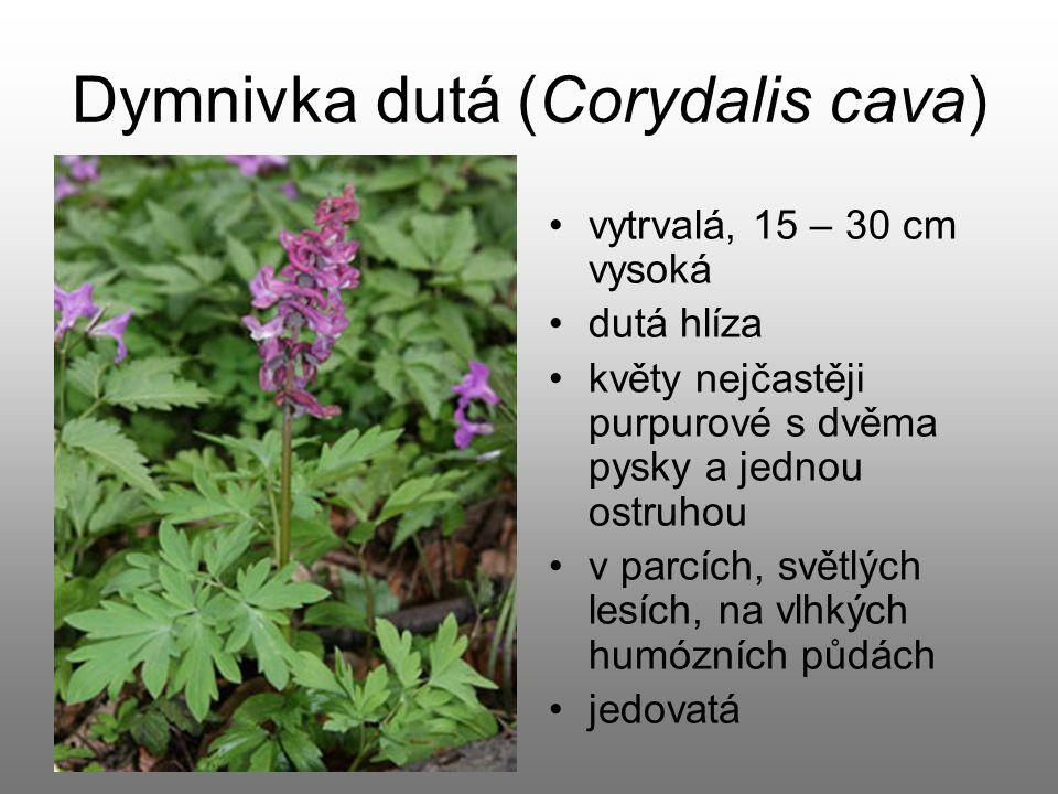 Dymnivka dutá (Corydalis cava)