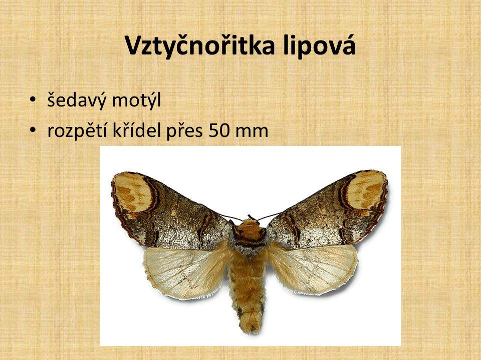 Vztyčnořitka lipová šedavý motýl rozpětí křídel přes 50 mm