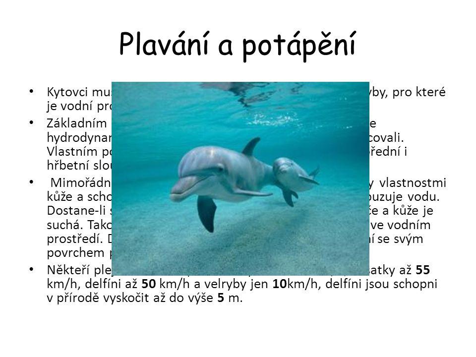 Plavání a potápění Kytovci musí při lovu plavat větší rychlostí než lovené ryby, pro které je vodní prostředí vlastní od samého počátku.
