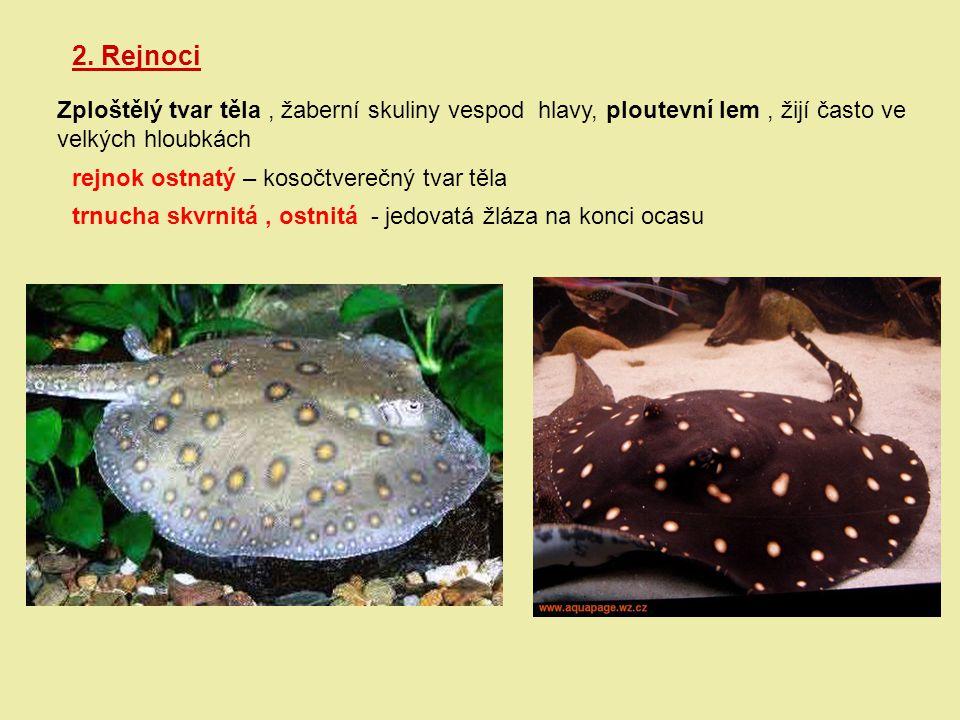 2. Rejnoci Zploštělý tvar těla , žaberní skuliny vespod hlavy, ploutevní lem , žijí často ve. velkých hloubkách.