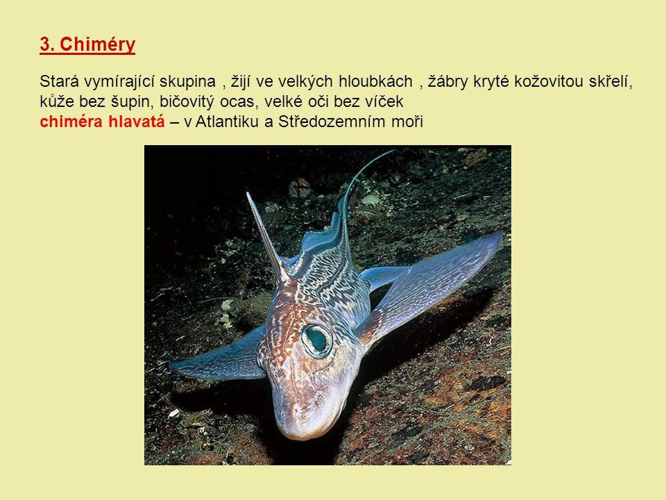 3. Chiméry Stará vymírající skupina , žijí ve velkých hloubkách , žábry kryté kožovitou skřelí, kůže bez šupin, bičovitý ocas, velké oči bez víček.