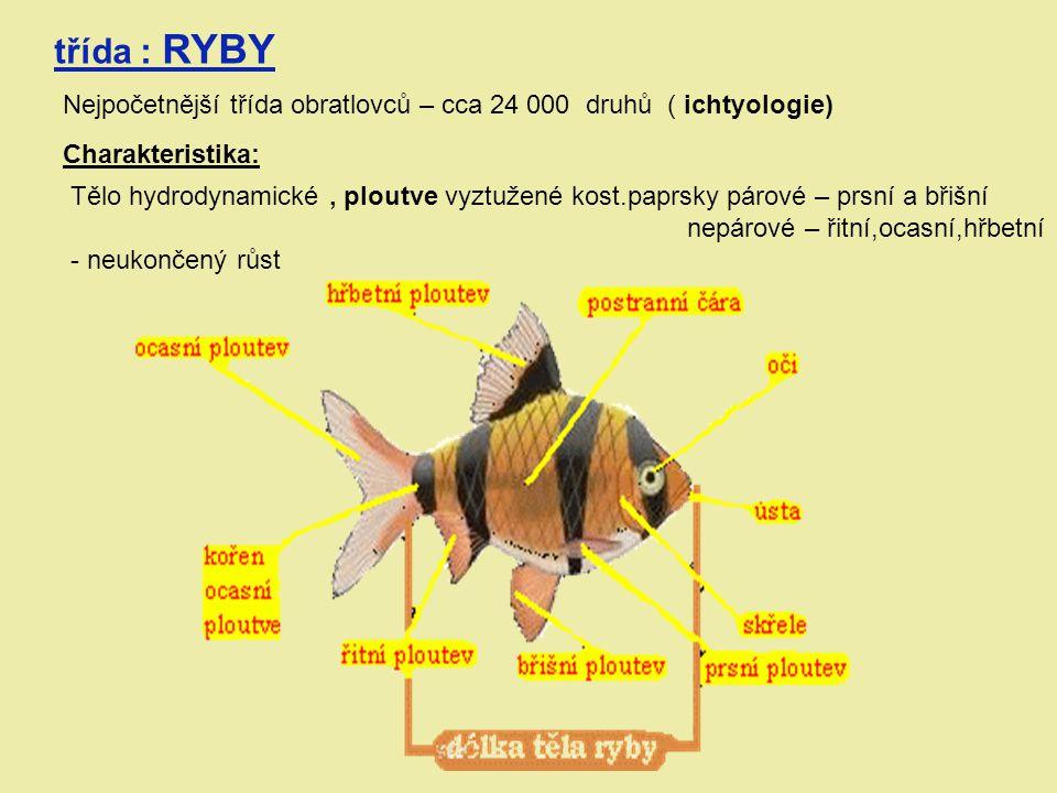 třída : RYBY Nejpočetnější třída obratlovců – cca 24 000 druhů ( ichtyologie) Charakteristika: