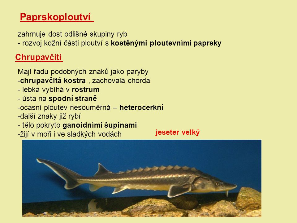 Paprskoploutví Chrupavčití zahrnuje dost odlišné skupiny ryb