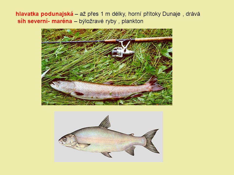 hlavatka podunajská – až přes 1 m délky, horní přítoky Dunaje , drává