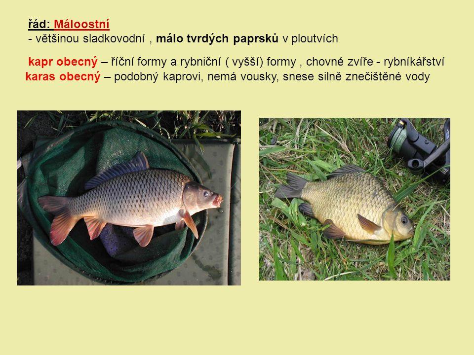 řád: Máloostní - většinou sladkovodní , málo tvrdých paprsků v ploutvích.